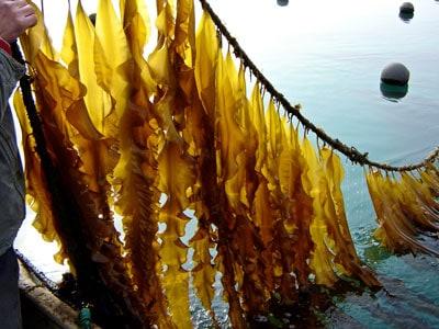 preppers will - Sugar Kelp