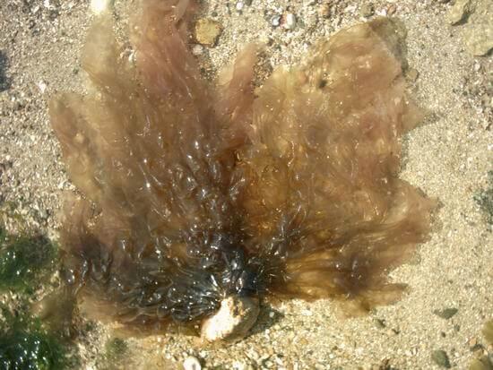 Lava Seaweed