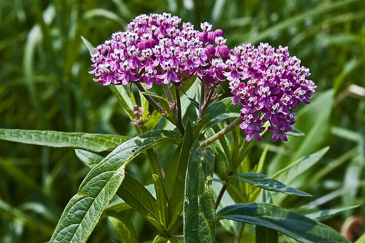 preppers will - milkweed