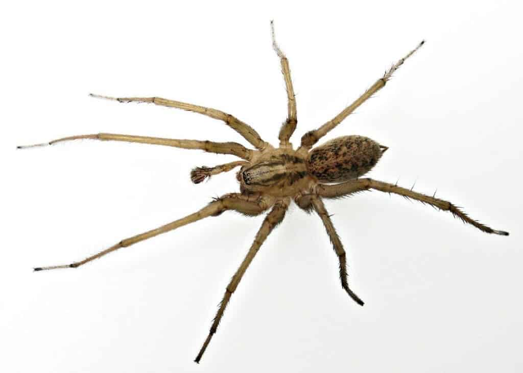 Spider bites guide - Hobo Spider