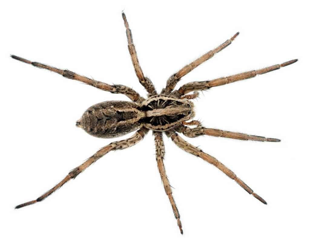 Spider bites guide - Wolf spider
