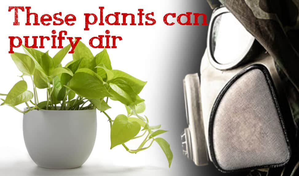 10 Amazing Air Purifying Survival Plants