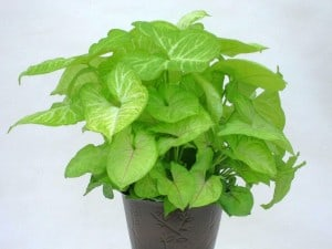 Prepper's Will - Arrowhead Plant air cleaning plant