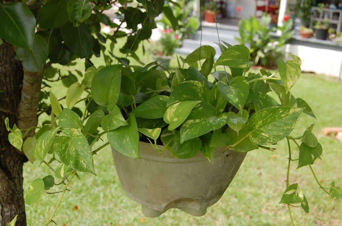 Prepper's Will - Devil's Ivy air cleaning plant