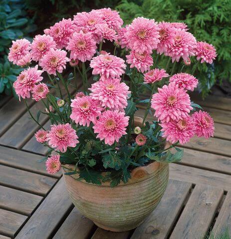 Prepper's Will - Pot Mum air cleaning plant
