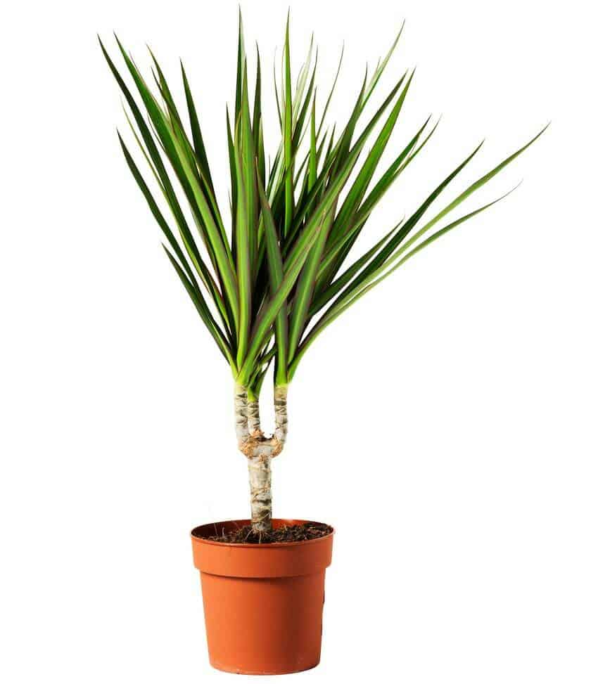Prepper's Will - Red-edged dracaena air cleaning plant