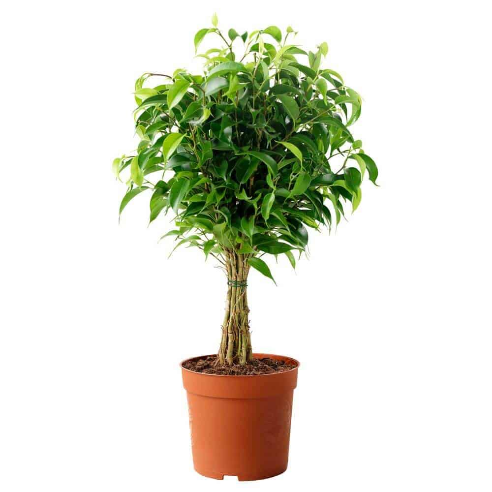 Prepper's Will - Weeping Fig air cleaning plant