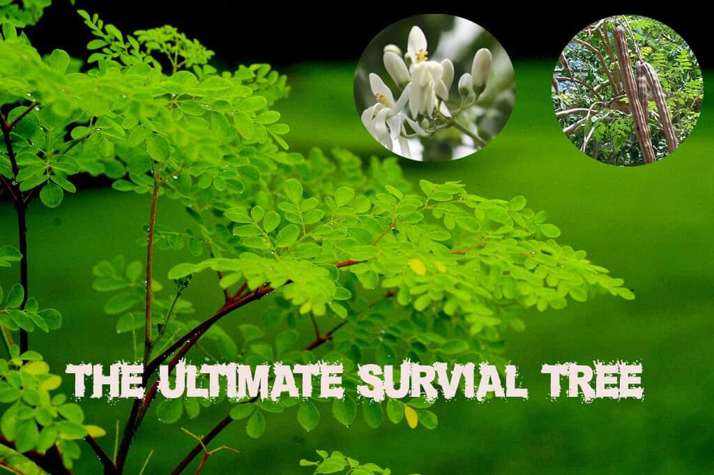 Moringa Oleifera – The Ultimate Survival Tree for Every Garden