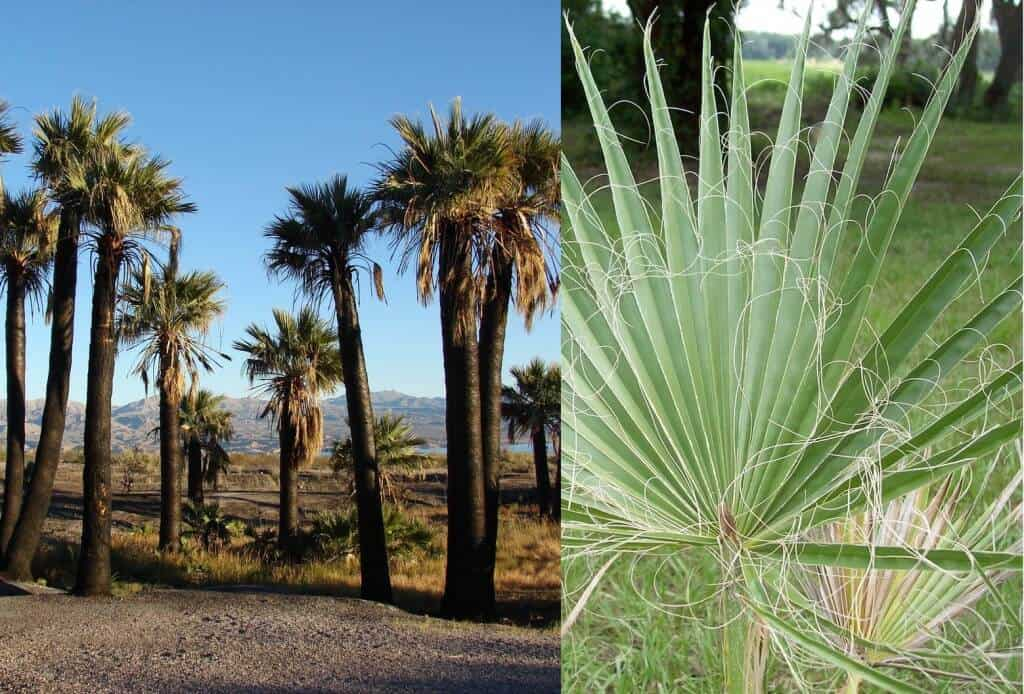 Prepper's Will - Arid Edibles - California Fan Palm