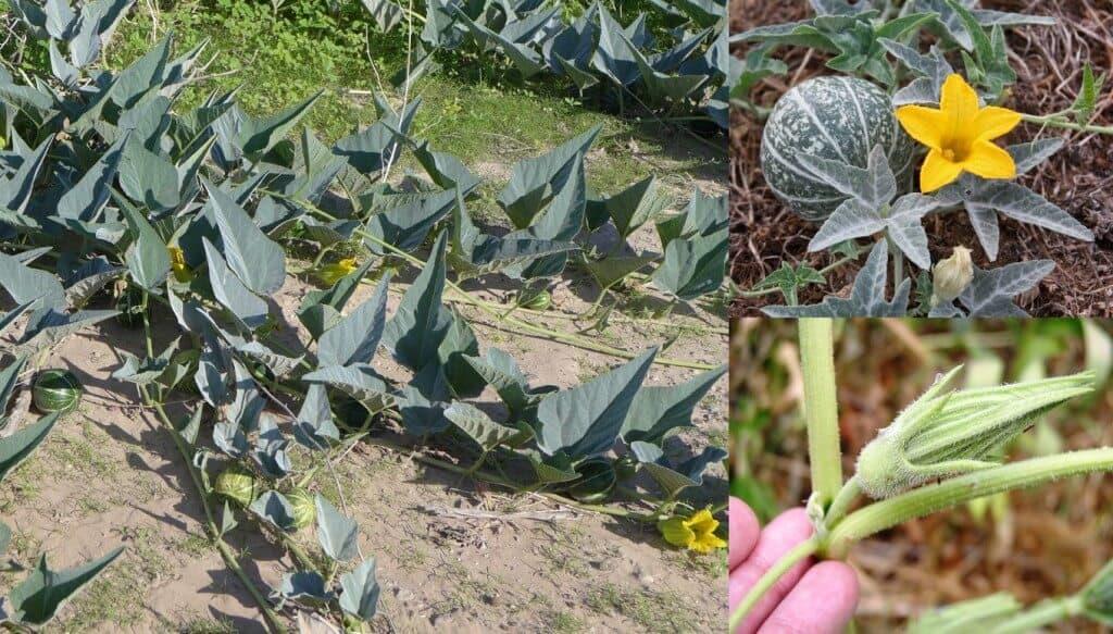 Prepper's Will - Soap Plants - Buffalo Gourd