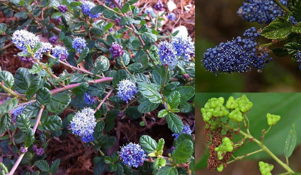 Prepper's Will - Soap Plants - Mountain Lilac