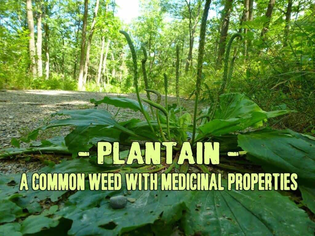 Plantain – A common weed with medicinal properties