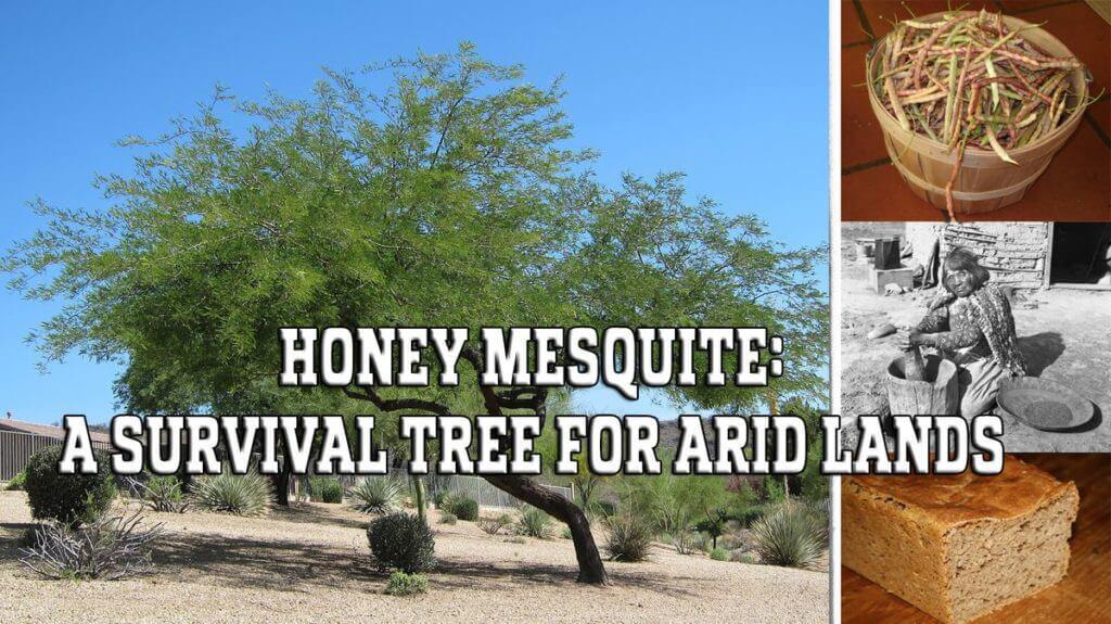 Honey Mesquite: A Survival Tree for Arid Lands
