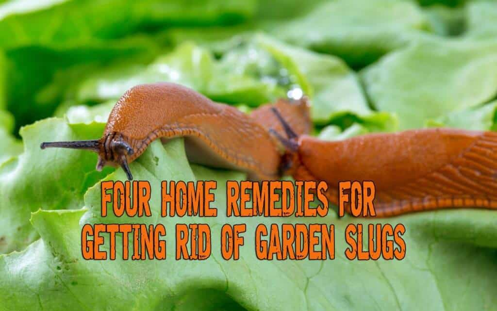 Four Home Remedies For Getting Rid Of Garden Slugs