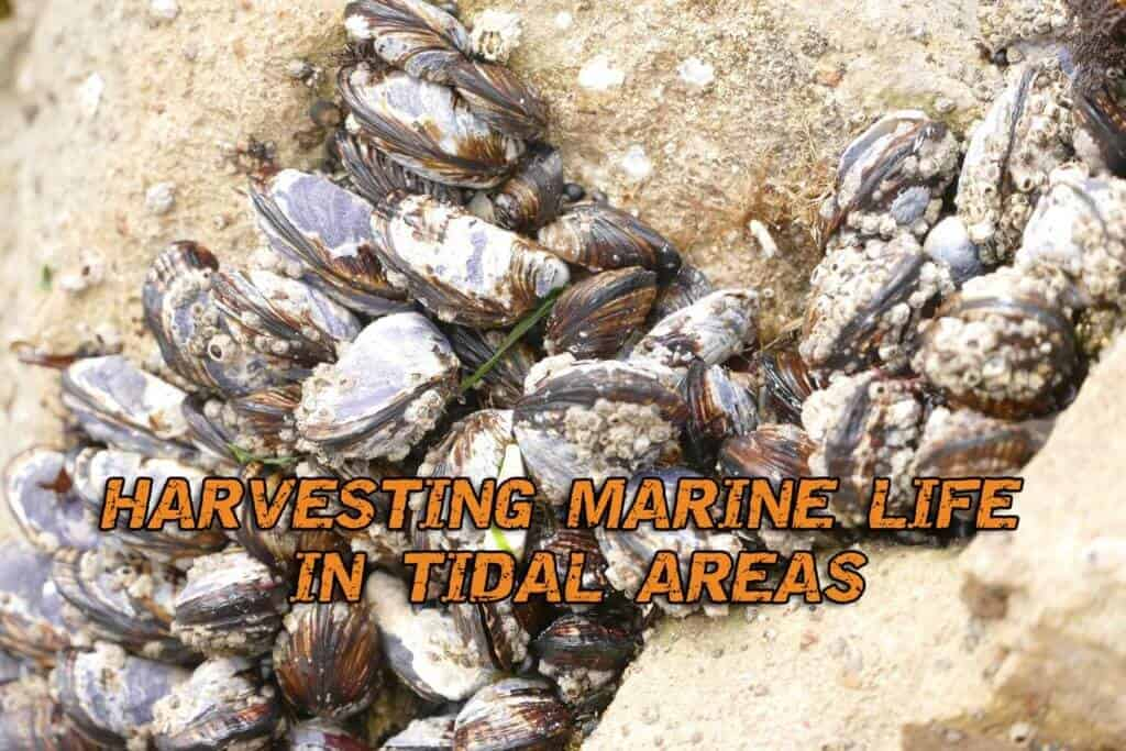 Harvesting Marine Life In Tidal Areas