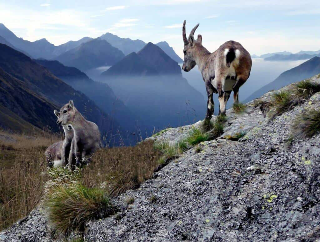 Don't follow the goats during mountain travel