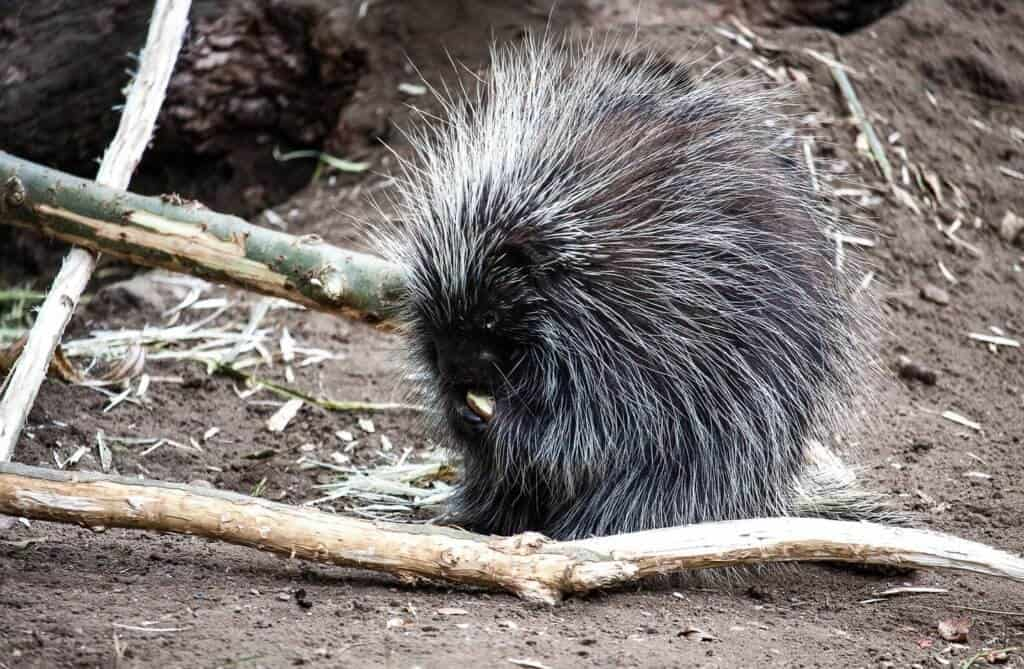 Porcupines and damage