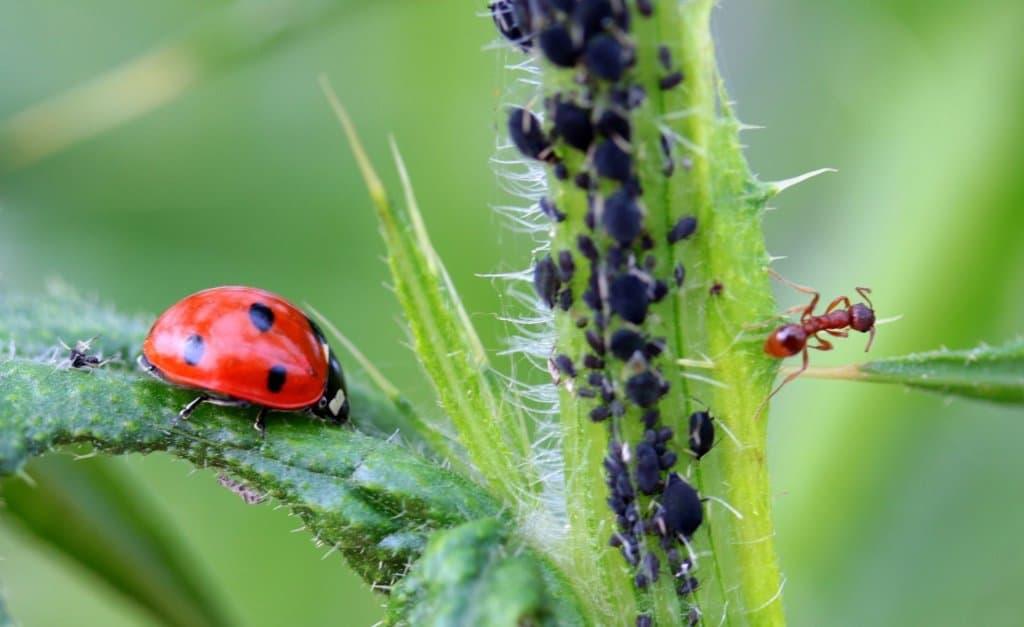Ladybug For Pest Control