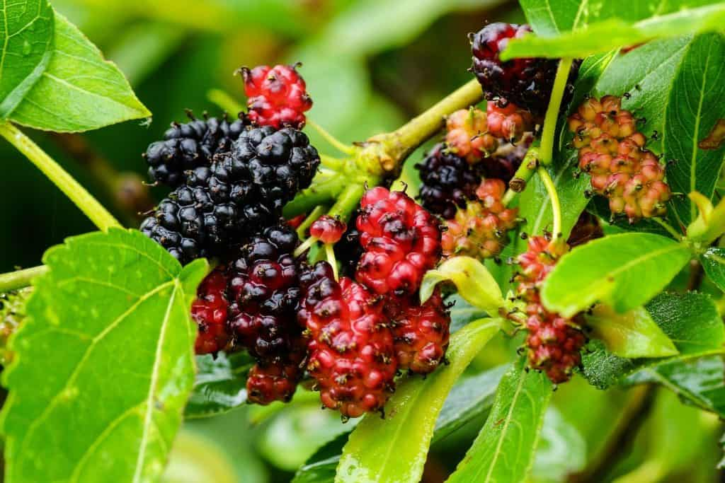 Mulberry Tree Branch