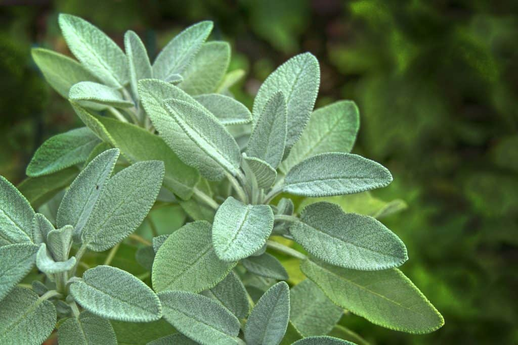Sage Leaves To Forage