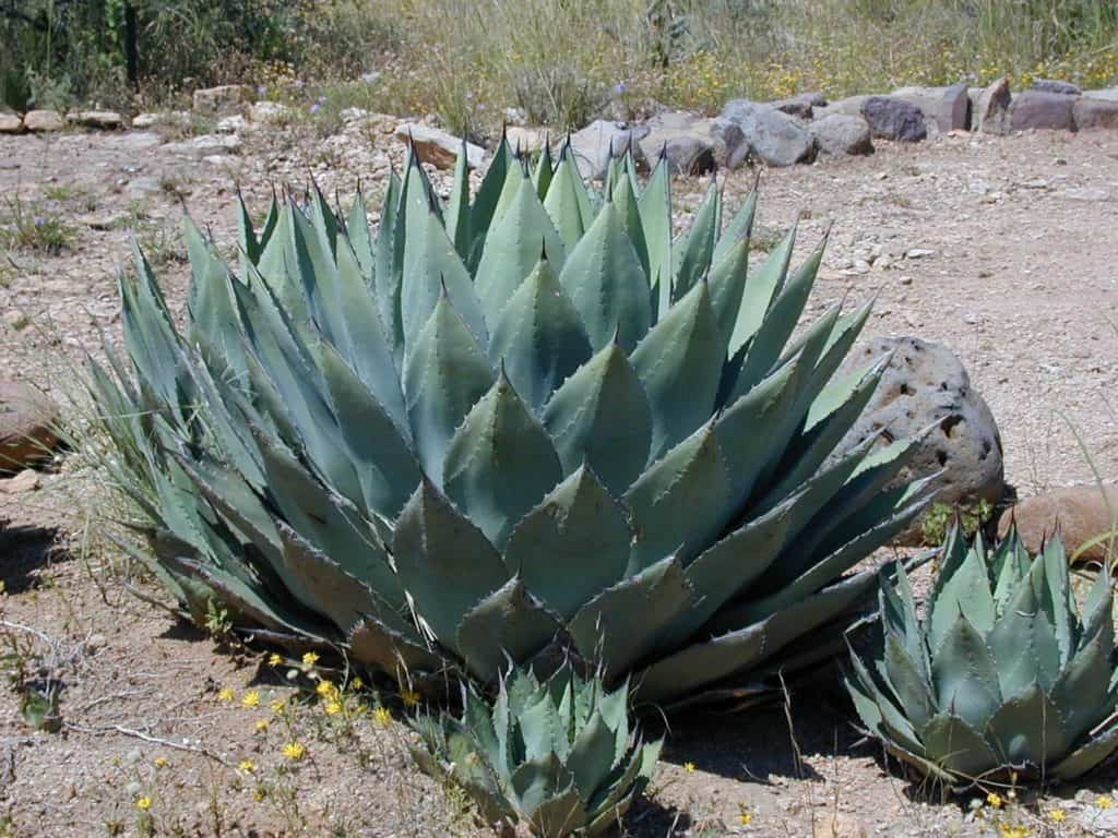 Growing Agave