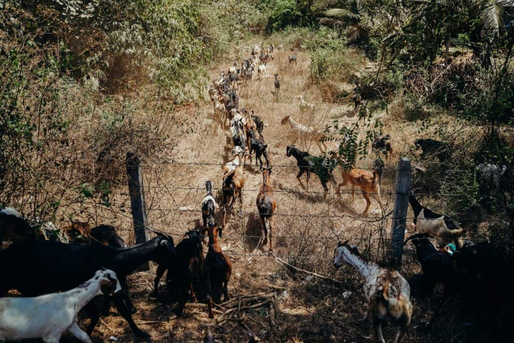 Pasture, Feed, And Housing Requirements For Goats