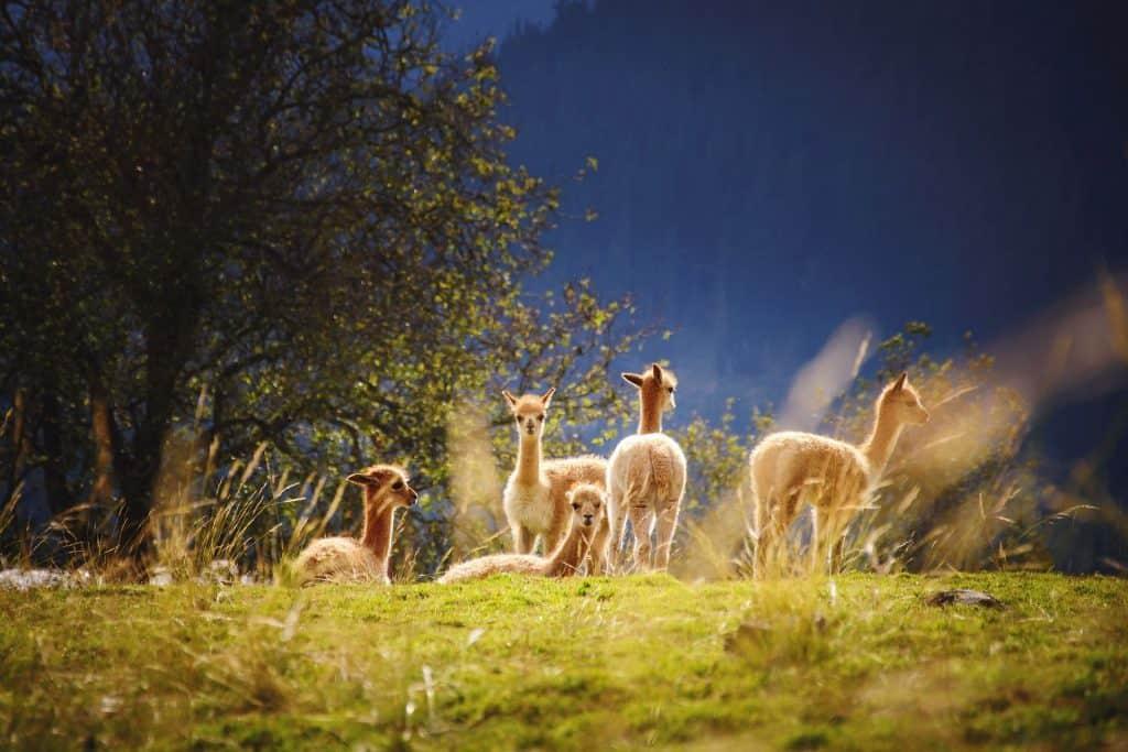 raising alpacas