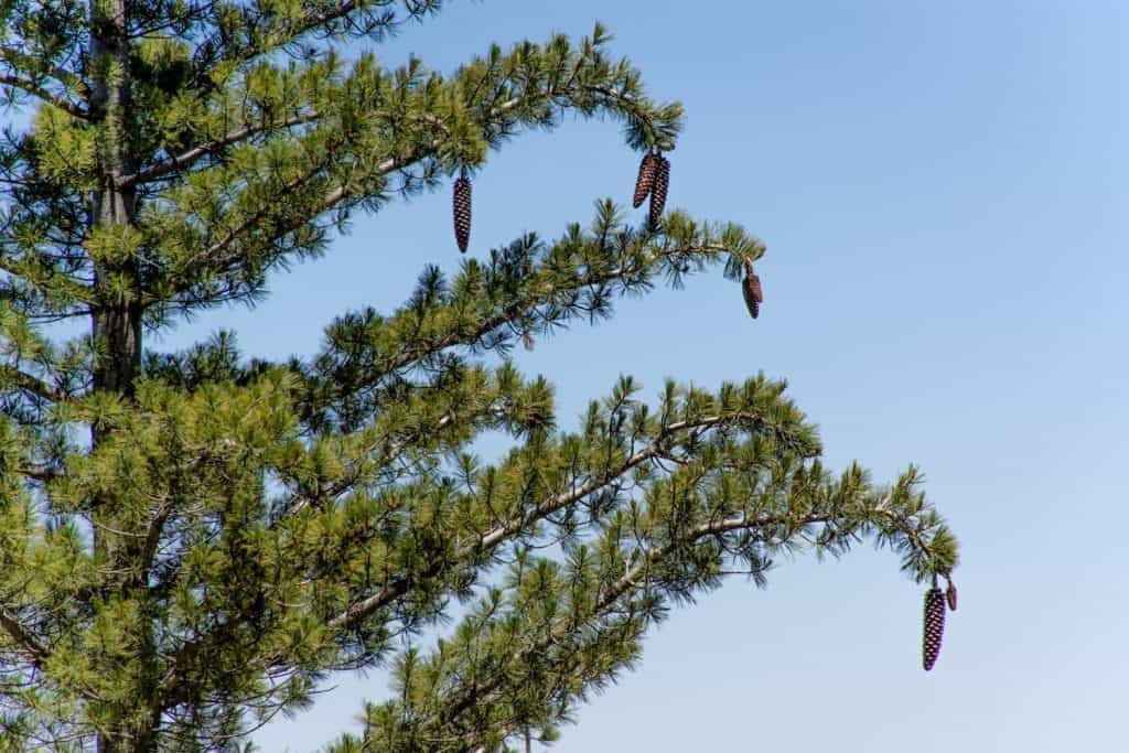 Sugar Pine Cones Drooping Branches Pine Mountain Bryant Baker