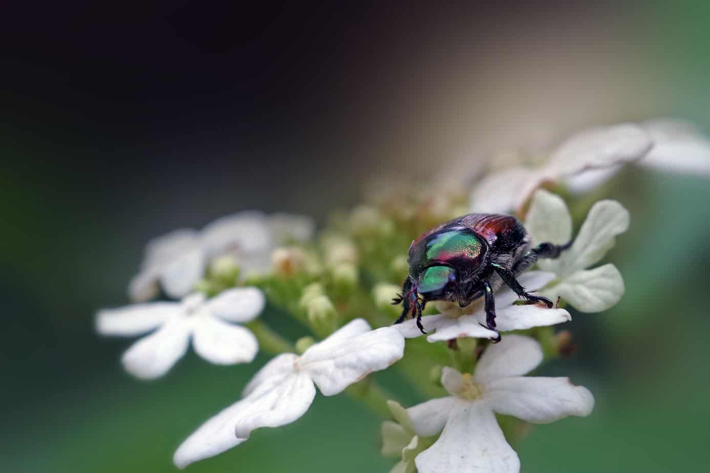 a few tips to protect gardens from the japanese beetle