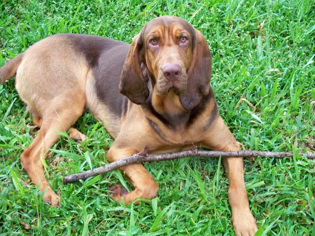 a bloodhound can smell you from miles