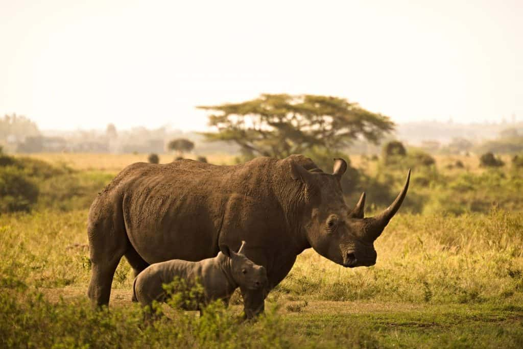 what is the life of a rhino worth