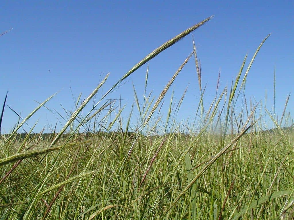 additional tips for harvesting wild rice