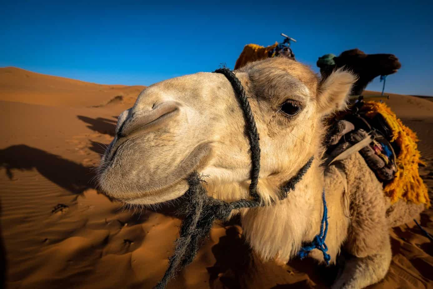 bugging out with camels