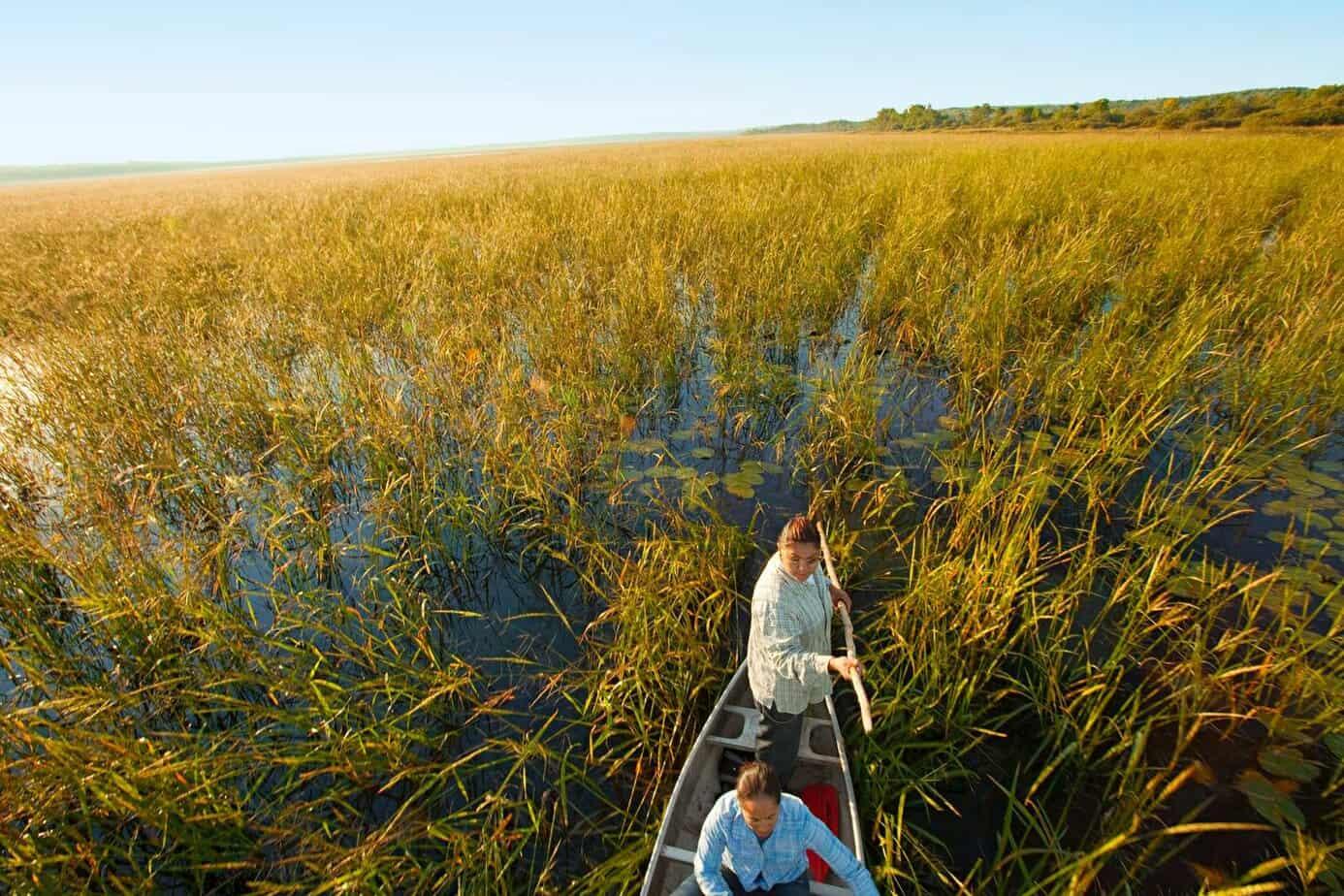 smart tips for harvesting wild rice