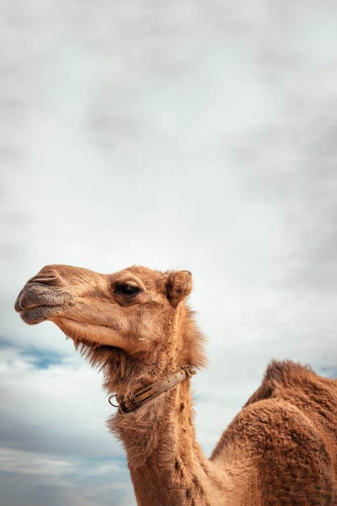 useful information you may not know about camels
