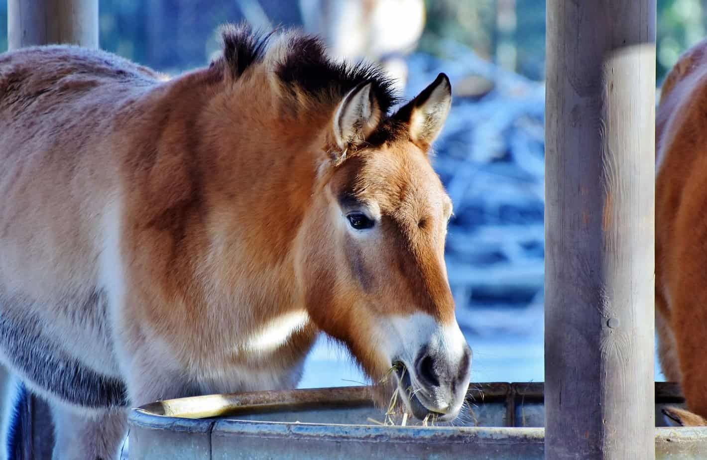 a few reasons to get a mule for your homestead