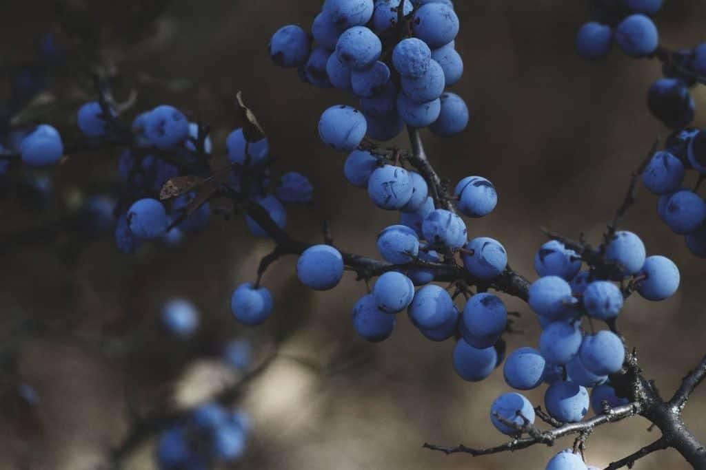 blueberry site prep