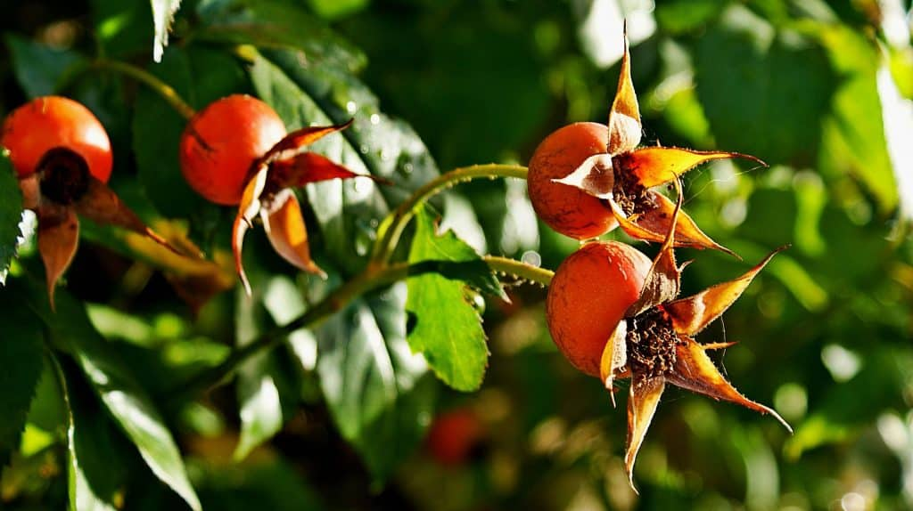 harvesting rosehips