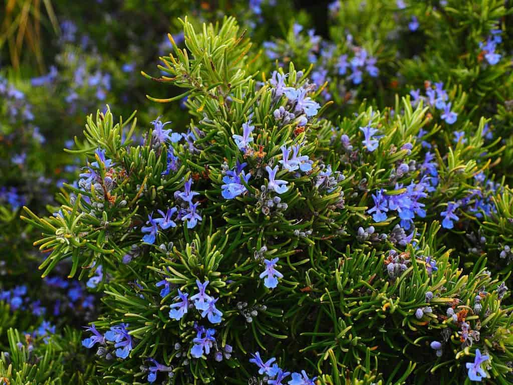 rosemary for fly control
