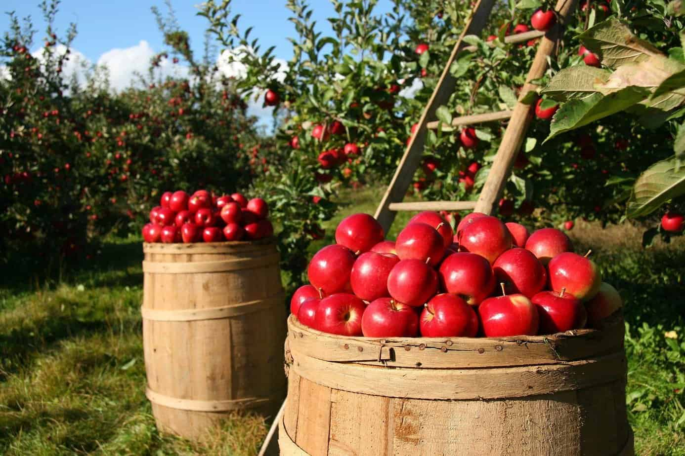 a few ways to preserve and enjoy your apple harvest