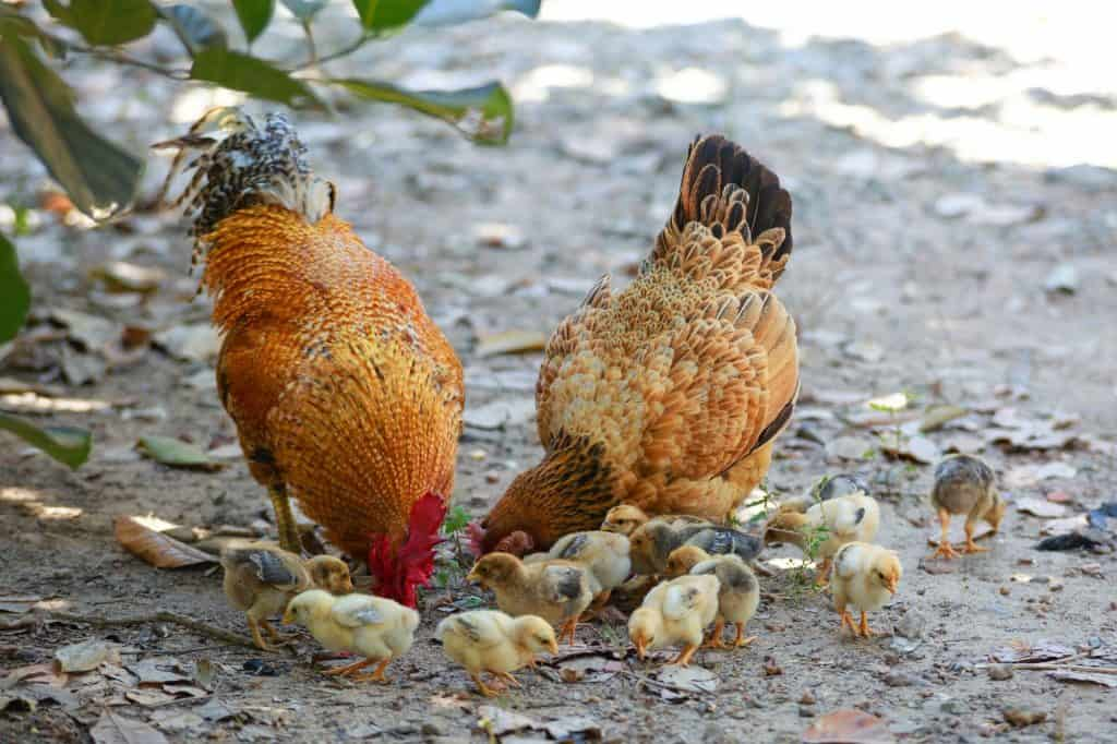 lots of work is needed to protect your chickens
